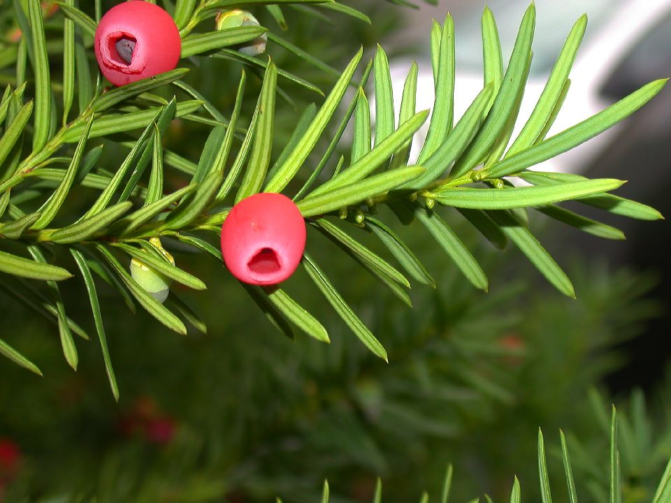 الزرنب Taxus baccata